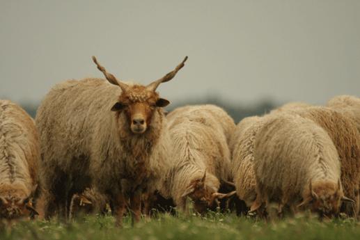 Ovis aries strepsiceros Hungaricus